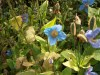Meconopsis (Tibetan Blue Poppy) by Harry Shetrone